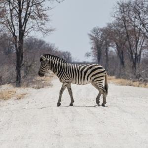 Savuti Zebra