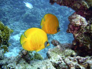 Gelbe-Fische