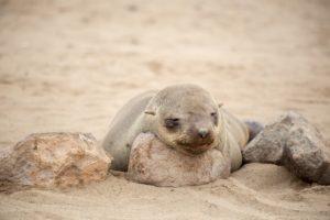 Die Seehunde bei Cape Cross