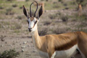 Etosha Antilope
