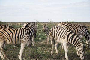 Etosha Zebras mit Nachwuchs