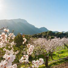 Mandelblüte auf Mallorca: Die besten Tipps für deinen Urlaub