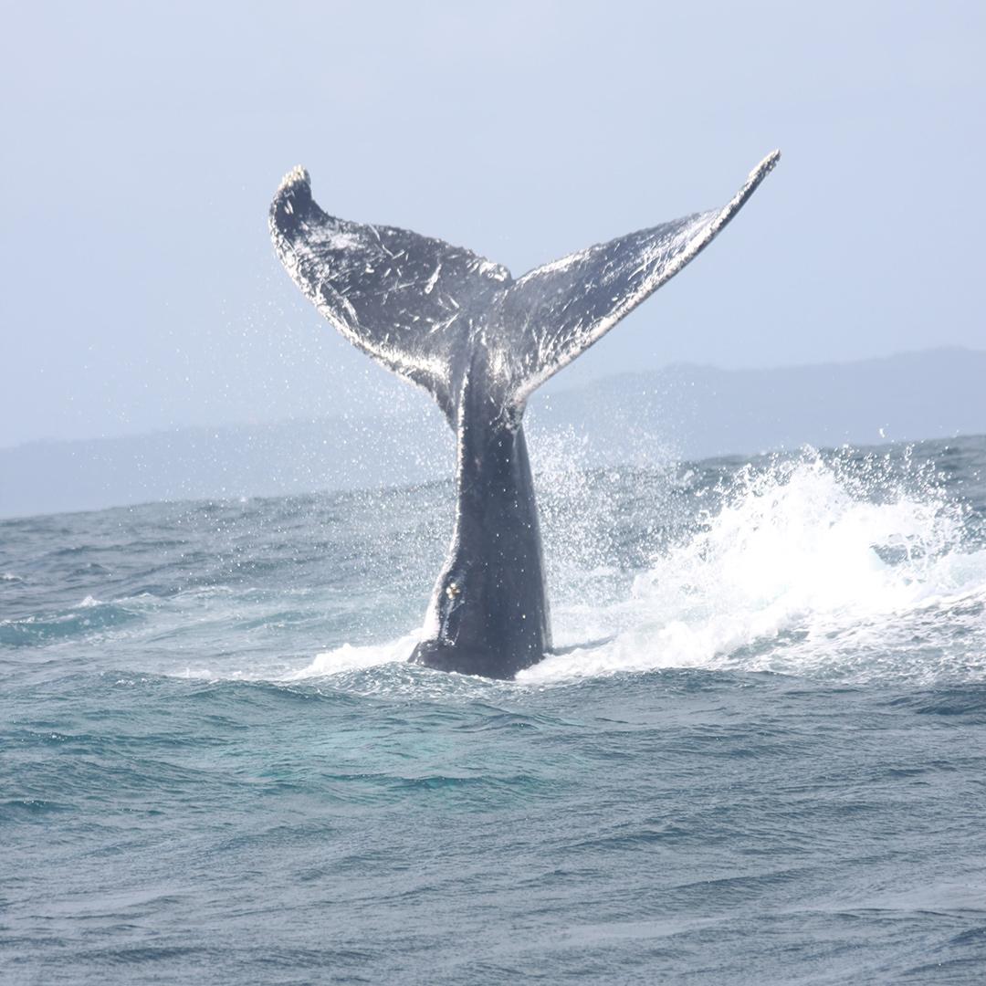 Schwanzflosse von Buckelwal ragt aus Meer